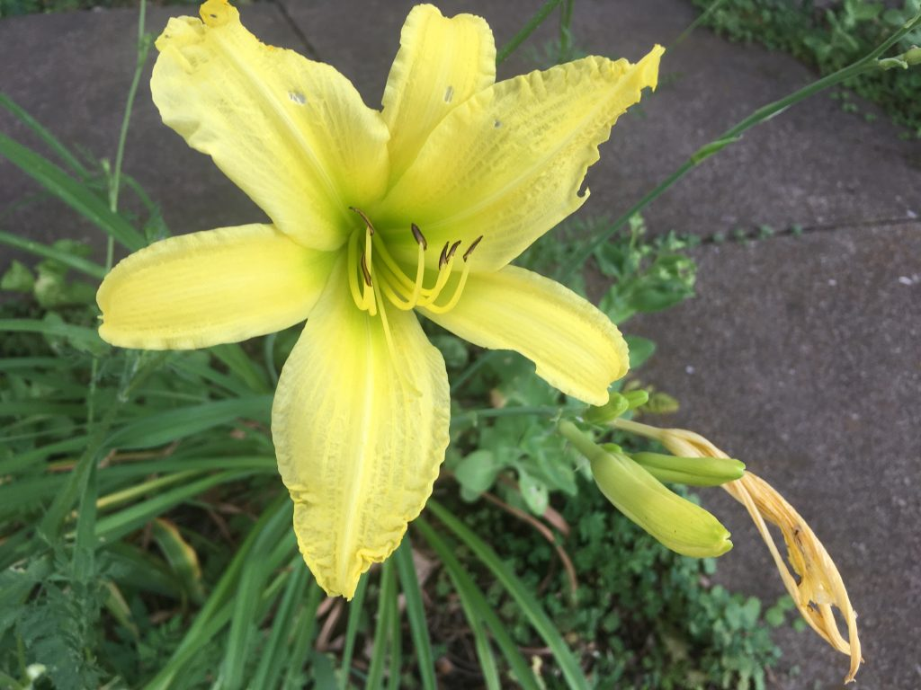 Yellow Daylily Hyperion
