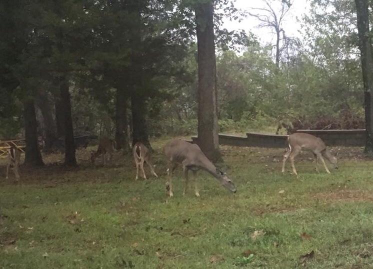 Deer grazing in the yard.