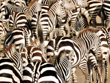 This mass of black-&-white ZEBRA stripes are beginning to head north on their annual migration.