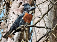 """It was """"now you see him, now you don't"""" when this GIANT KINGFISHER landed briefly in a nearby tree."""