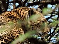 05-27 leopard (1024x768)