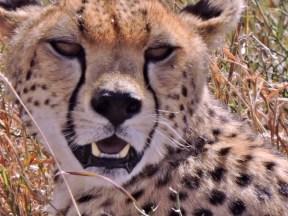 05-35 cheetah (1024x768)
