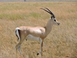 An elegrant Grants gazelle