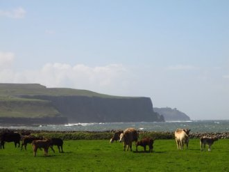 What a great view for the cattle, Cliffs of Moher