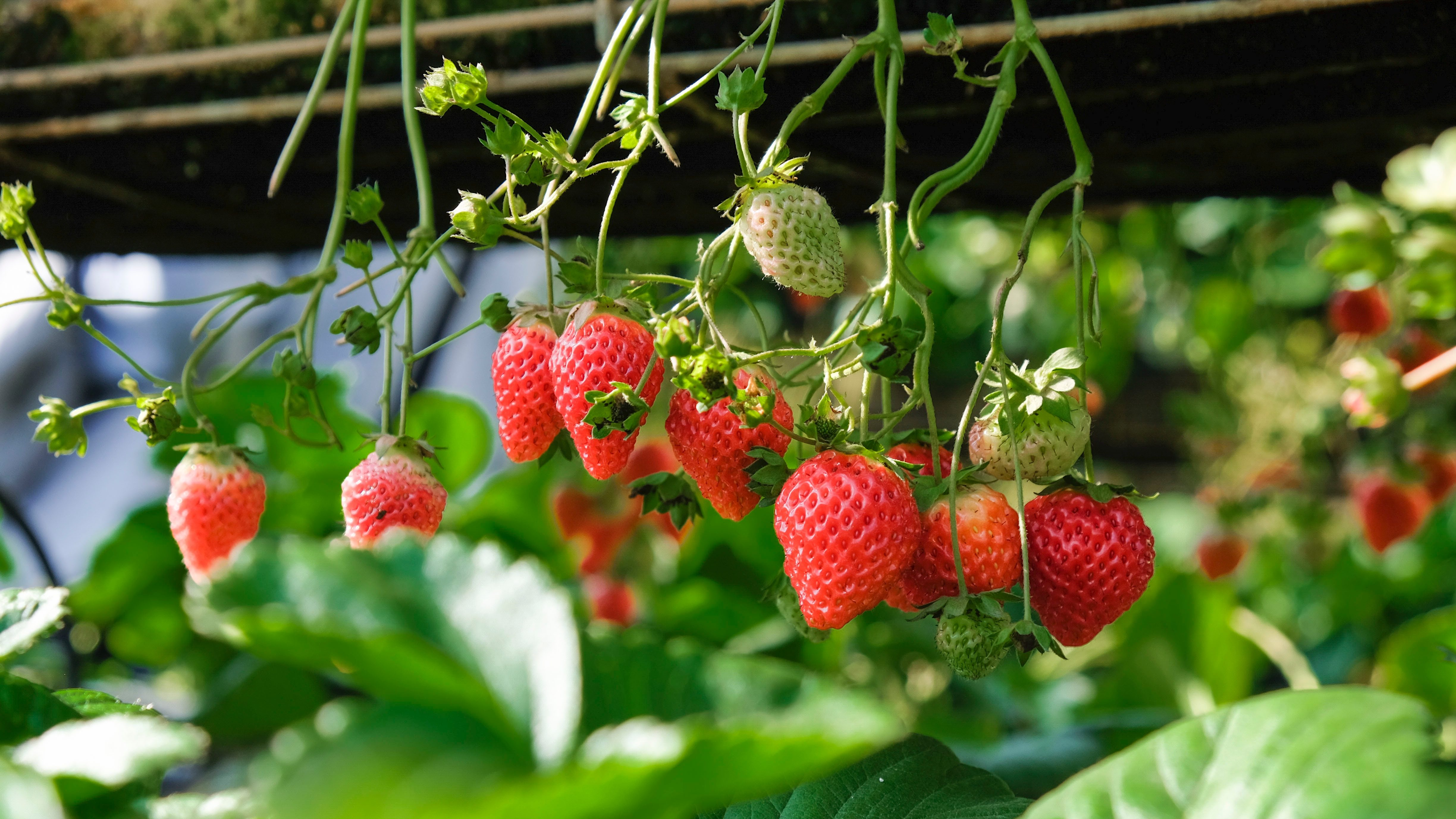 Where to go Strawberry Picking in Montreal