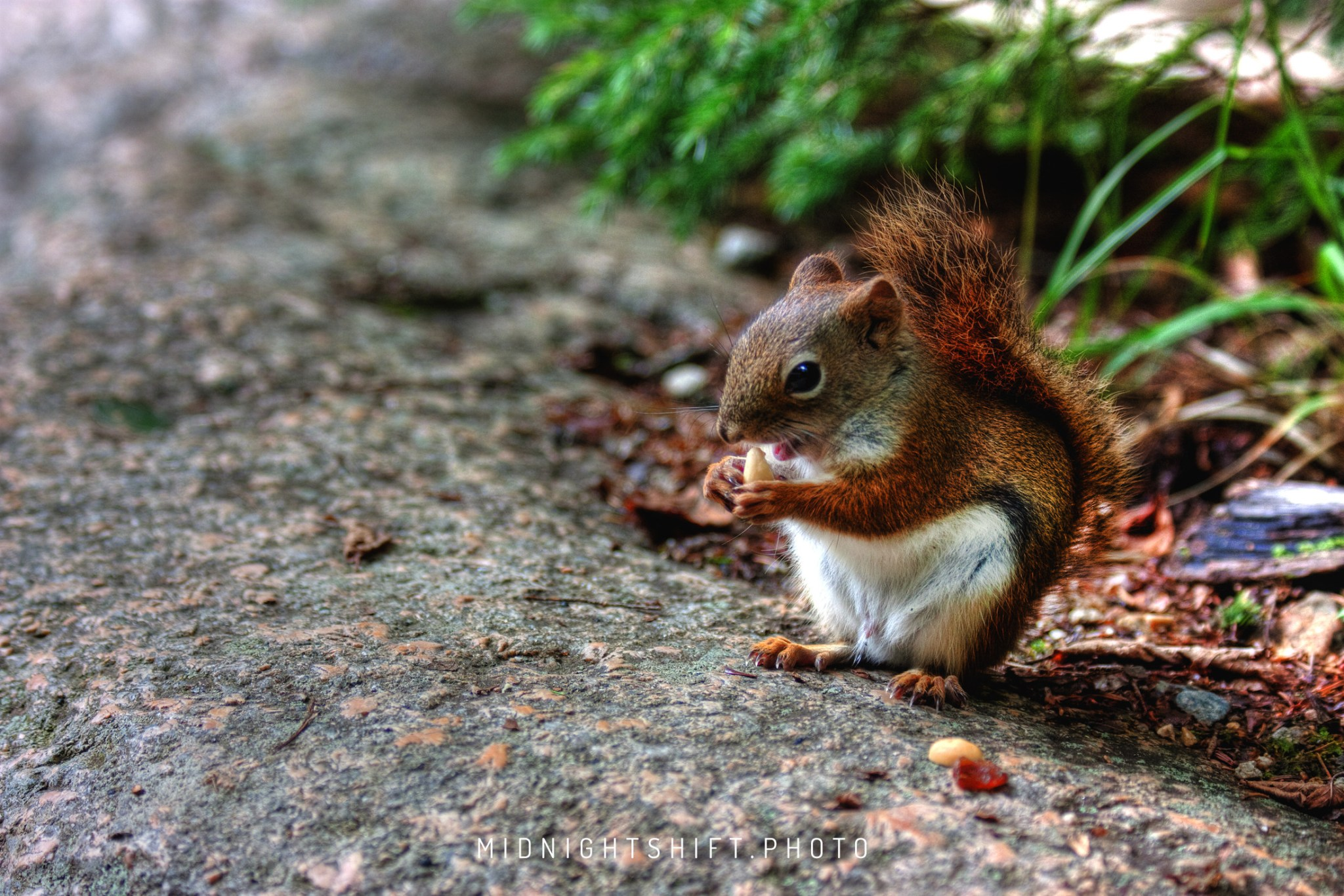 A Hungry Squirrel eats peanuts in New Hampshire