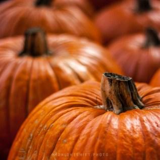 An autumn pumpkin patch in acushnet, MA
