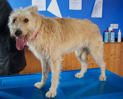 Fellpflege Shiva Wuschelmädchen Hundeblog miDoggy