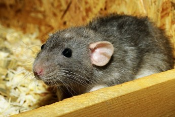 rat removal asheboro nc