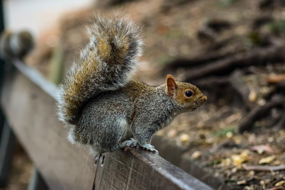 squirrel removal asheboro nc