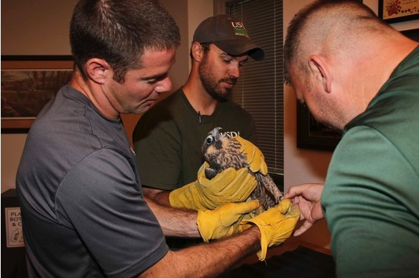 Luke Miller and Micah Glover of USDA Wildlife Services and Joe DeBold (left to right) examine the young falcon. Courtesy Missouri Department of Conservation.