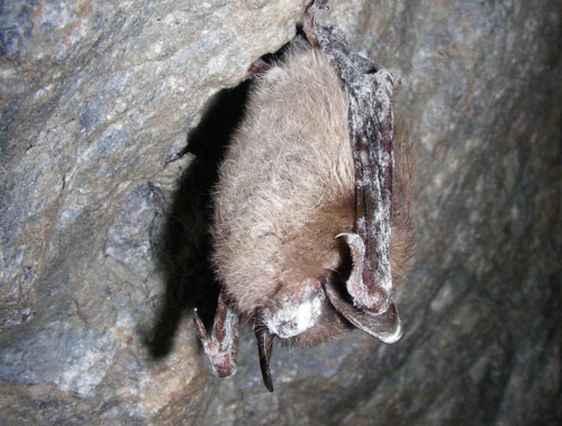 Bat in Crevice