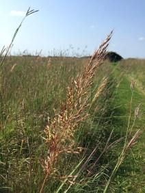 Tall prairie grass.