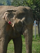 Her former mahout put a hole through her ear and gave her an earring because it made her look better to tourists.