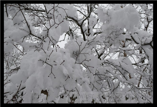 Snow Laden Branches midweststoryteller.com