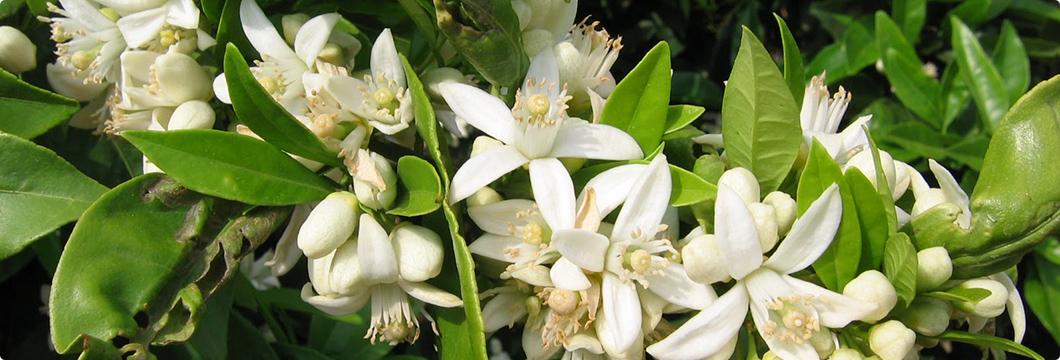 Flores blancas del naranjo del que se obtiene la Miel de Azahar