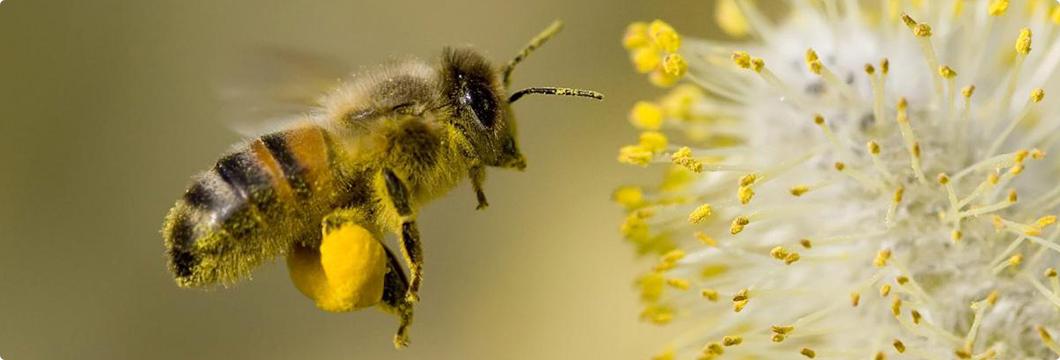 Abeja transportando el polen puro