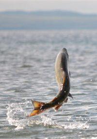 relaché part surface eau saumon