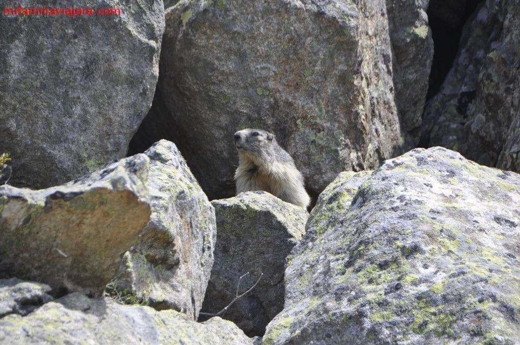 Marmota en Córcega