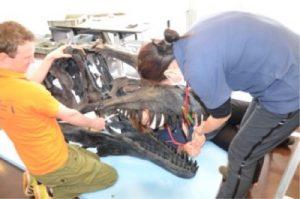 アクロカントサウルスの頭部の修復作業。