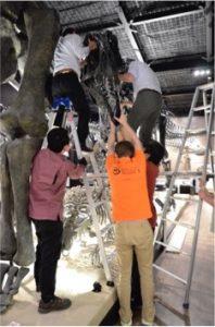 アクロカントサウルスの頭部の骨格への取り付け作業。