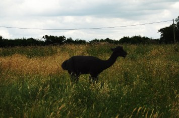 Llamas can spit distances of up to fifteen feet