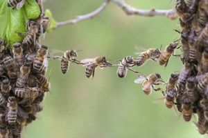 bees forming a bridge - Connections