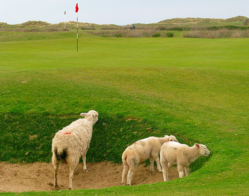 Sheep has played a vital part in the development golf modeling pot bunkers when seeking shelter. These sheep were gracing at the opening hole of Royal North Devon in England. (Photo: The Migrant Golfer/Margaret Kallevig)