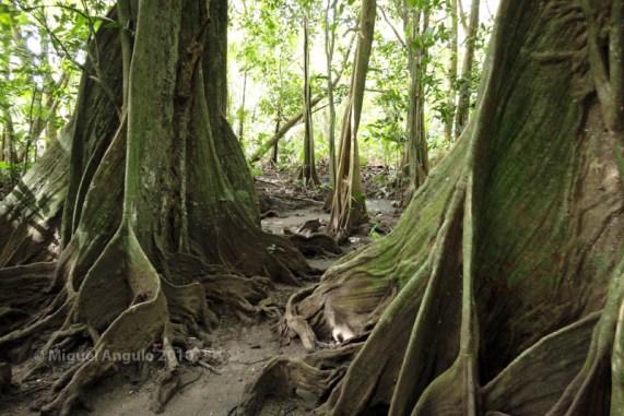 Mape sur l'Ile de Huahine