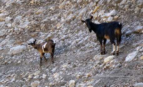 Les chèvres de Vadiello