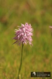 Orchis italica. Orquídea del hombre desnudo.