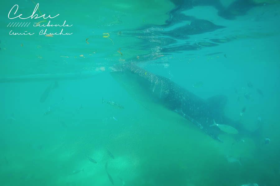 菲律賓鯨鯊,歐斯陸鯨鯊,鯨鯊共游,宿霧鯨鯊共游,宿霧自由行,宿霧度假,鈦美