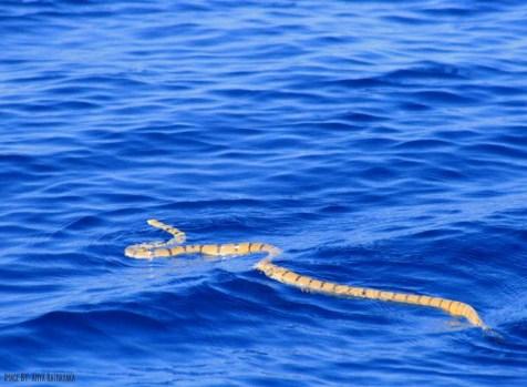 Yellow-banded Sea Snake