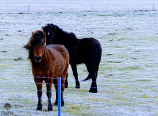 Iceland-Day-2--horses