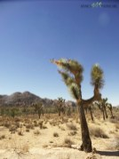 cactusi-si-desert-in-joshua-tree-national-parc-copy