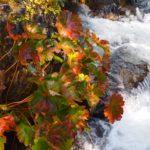 【シャスタ】おすすめのスクア―バリーの秋は紅葉のピーク!