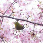 一条戻橋の桜パワー!晴明神社は最強パワースポット!厄払い魔除けのご利益