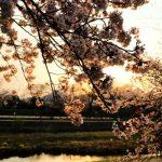 【京都の夕焼け絶景】桜と夕日!平安神宮と鴨川の夕焼け