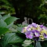 京都のあじさい!6月おすすめ!美しい花の寺で癒される~名所の真如堂~