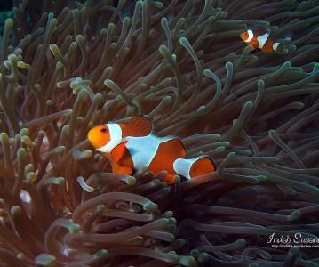 Finding Nemo in Raja Ampat