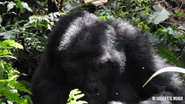 trekking gorilas (10)