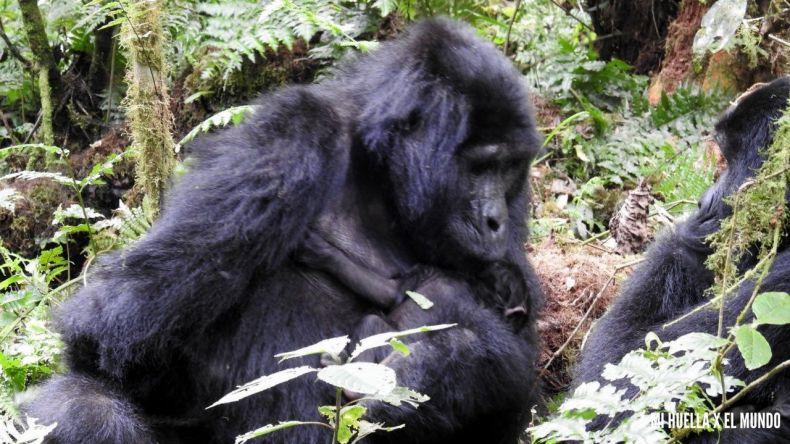 trekking gorilas (11)