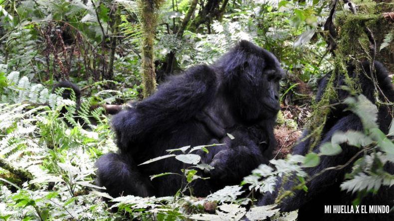trekking gorilas (9)