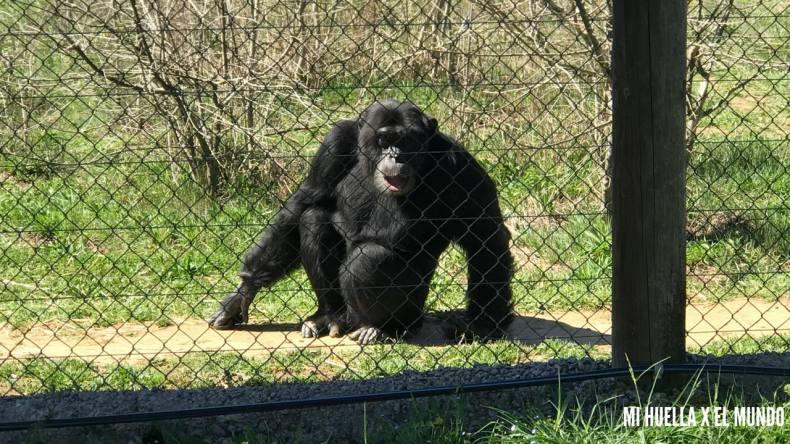 Foto de frente de Nico, el chimpancé apadrinado