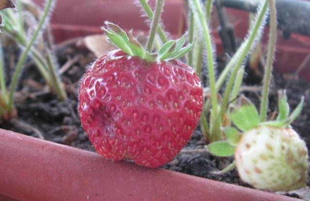 fresas-fruit.jpg