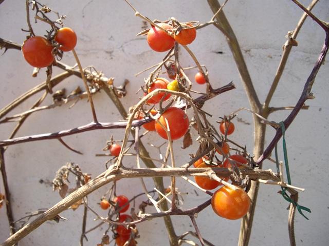 tomaquetes final. Huerto en un balcón de Barcelona