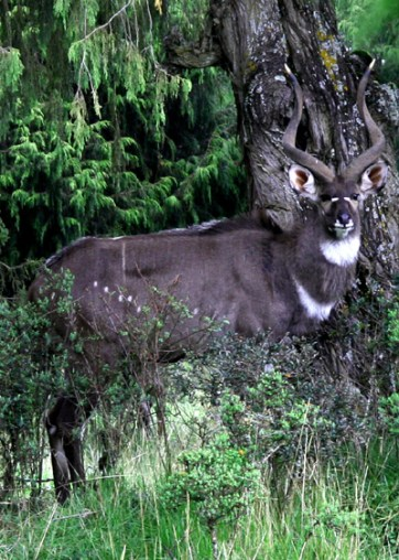 Mountain nyala (Tragelaphus buxtoni) male, Bale Mountains National Park, Oromiya.