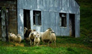 Sheeps in Skogafoss.