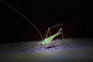 Grasshopper, SA.