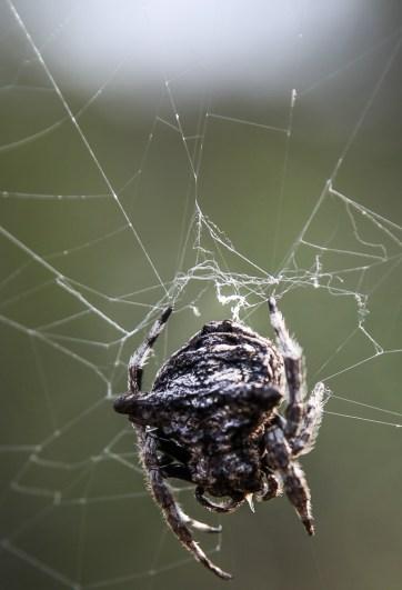 Bark spider, SA.